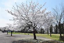 平成29年立山町総合公園の桜